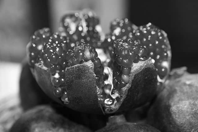 La granada: posible fuente para la lucha contra el Alzheimer