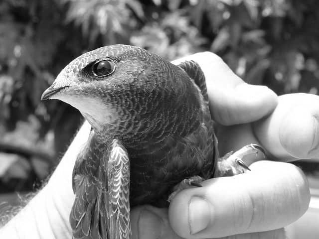 El pájaro que vuela 10 meses sin aterrizar